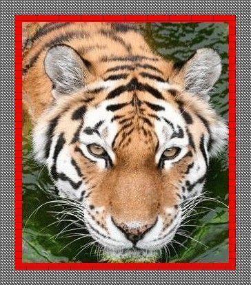 Tigre - Merci... GUY...
